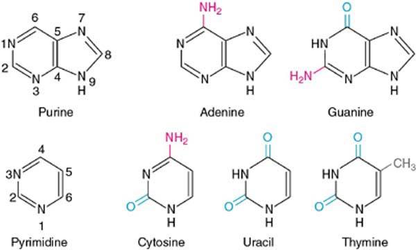 purine and pyrimidine bases
