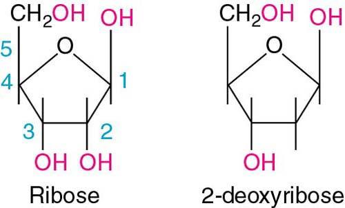 the pentose sugars