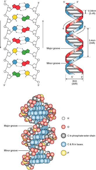 The Double Helix - Essay Example